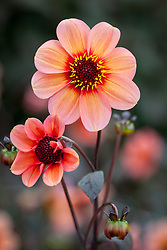 Dahlia 'Happy Single Kiss'