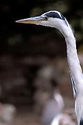 Avifauna, Europa's grootse vogelpark. / Avifauna - the largest bird sanctuary in Europe<br /> <br /> Op de foto: Reiger