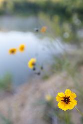 Greenthread (Thelesperma filifolium) wildflowers on McCommas Bluff above Trinity River, Great Trinity Forest, Dallas, Texas, USA