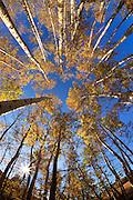 Aspen trees in Montana.