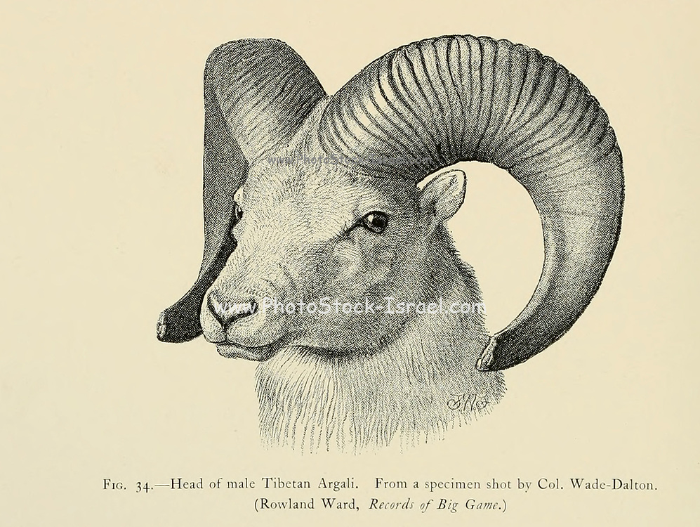 Head of Male Tibetan argali (Ovis ammon hodgsoni) illustration From the book ' Wild oxen, sheep & goats of all lands, living and extinct ' by Richard Lydekker (1849-1915) Published in 1898 by Rowland Ward, London