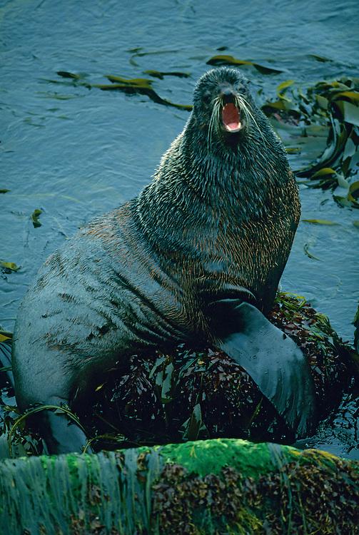 Bull Northern Fur Seal<br /> St. Paul Island,  Pribilofs  Alaska