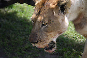 close up of a lioness at the water hole, at the Ngorongoro Conservation Area or NCA is a conservation area situated 180 km west of Arusha in the Crater Highlands area of Tanzania.