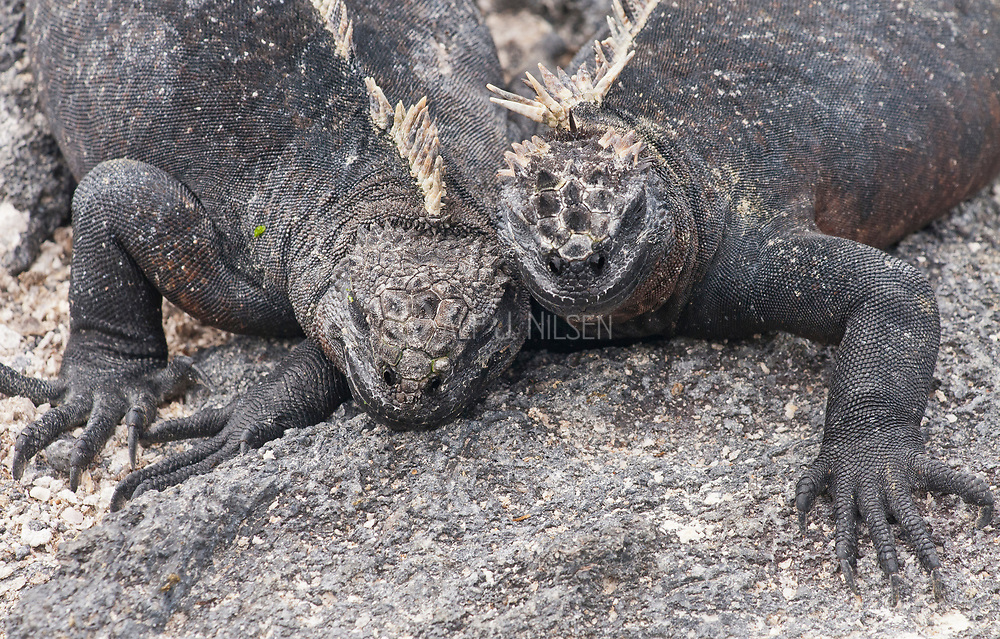 Marine Iguanas (Amblyrhynchus cristatus) from Punta Espinoza, Fernandina, Galapagos Islands.