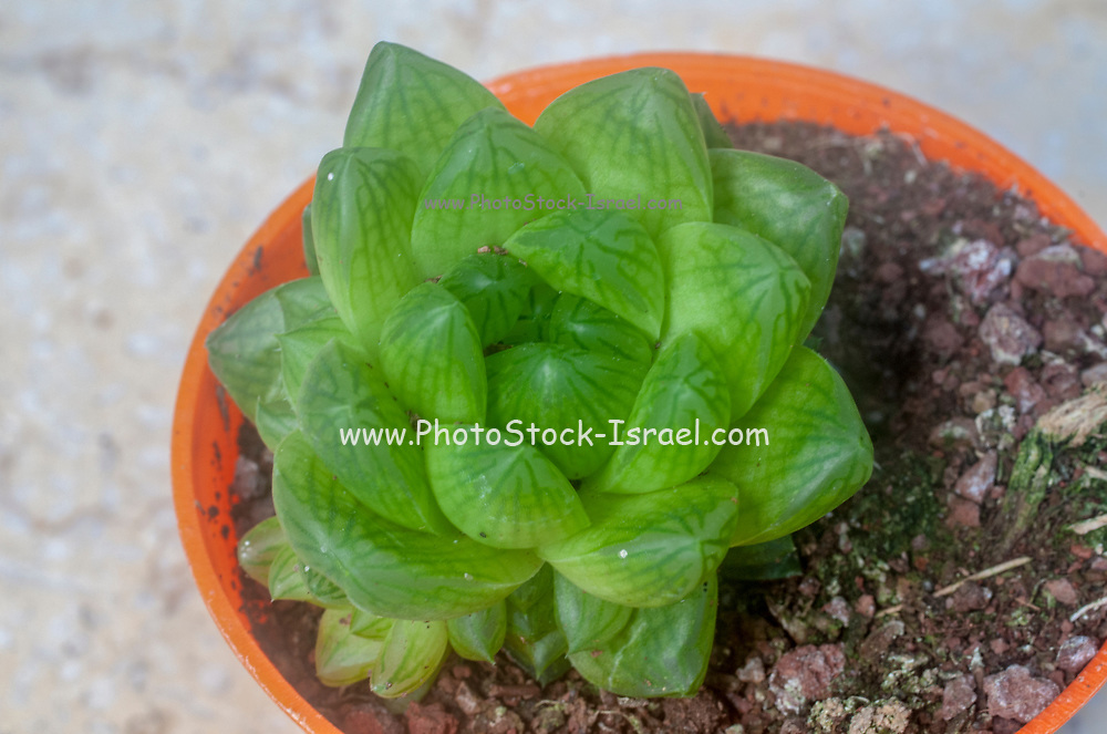 unidentified Crassula succulent with water retaining leafs
