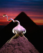 The ancient Egyptians regarded garlic as the food of the gods.