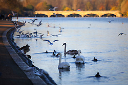 © Licensed to London News Pictures. 29/11/2016. London, UK. Ducks and birds in the Serpentine Lake in Hyde Park, London on a frosty morning as temperatures in the capital drop as low as -3C on Tuesday, 29 November 2016. Photo credit: Tolga Akmen/LNP