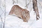 Lynx walking in snow