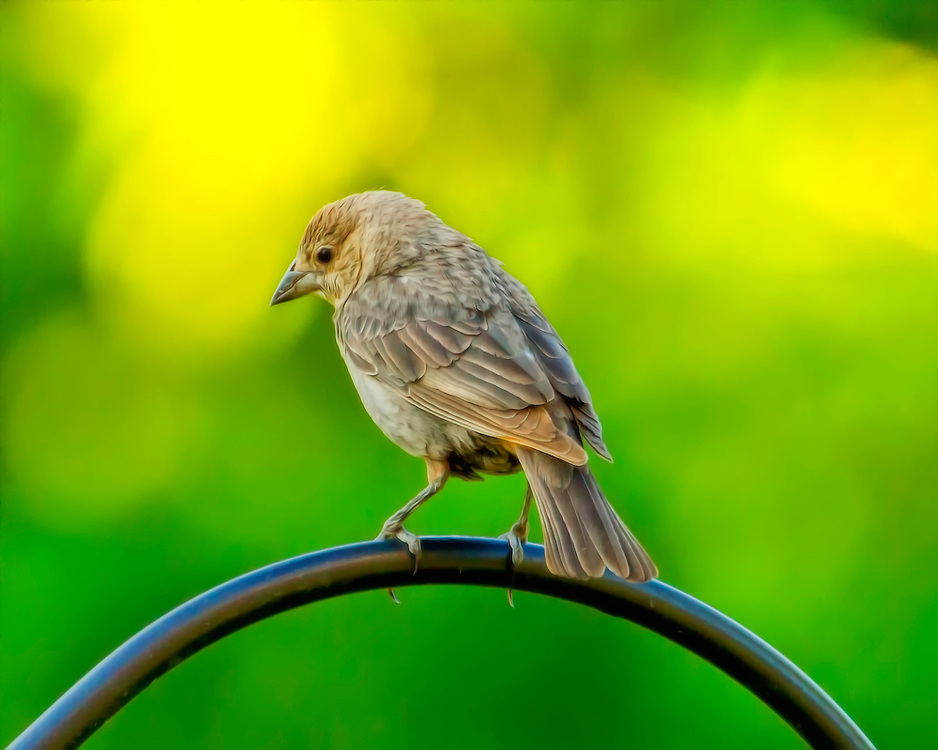 The adult female Brown-headed Cowbird is slightly smaller than the male and is dull grey with a pale throat and very fine streaking on the underparts.