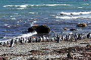 Megallanic Penguins (Spheniscus magellanicus) on the beach and washing in the sea after their morning fishing trip at their nesting colony at Otway Sound. Punta Arenas, Republic of Chile. 16Feb13