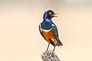 Superb Starling (Lamprotornis superbus). Photographed in Tanzania