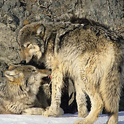 Gray Wolf (Canis lupus).  A portrait of a pair licking and nuzzling along the bank of a river in the Rocky Mountains.  Captive Animal.