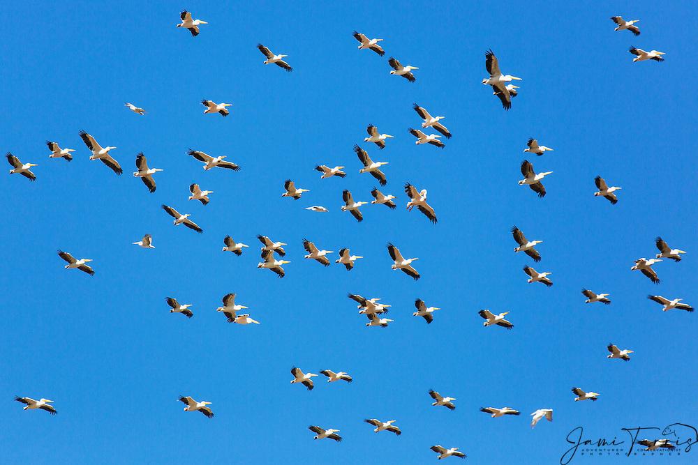 A flock of great white pelicans in flight from below (Pelecanus onocrotalus) ,Khwai River, Botswana, Africa