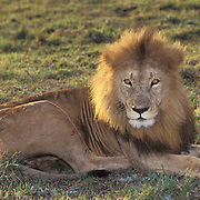 African Lion, (Panthera leo) Mature male. Masai Mara Game Reserve. Kenya. Africa.
