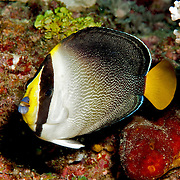 Vermiculated Angelfish are solitary or pairs in coral rich areas of inshore reefs. Picture taken Raja Ampat, Indonesia.