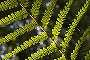 Fern, pteridophyta, close up of individual leaf pattern, Southern England