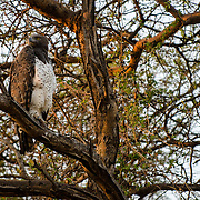 A Martial Eagle (Polemaetus bellicosus) sits atop its perch in an Acacia tree at sunrise in Samburu National Reserve, Kenya.