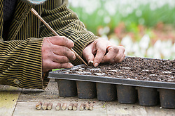 Taking Crambe cordifolia root cuttings. Inserting sections into module seed tray