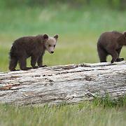 Alaskan Brown Bear cubs walking on a log. Katmai National Park, Alaska