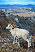 Dall sheep Ram atop Mountain