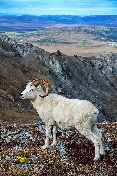 Dall sheep Ram atop Mountain