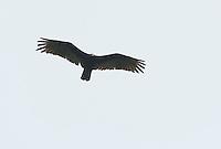 Black vulture, Coragyps atratus, near Mindo, Ecuador
