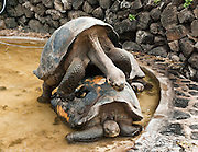 Galápagos giant tortoises attempt to mate (Chelonoidis nigra, formerly Geochelone elephantopus) in a pool of water at the Charles Darwin Research Station (CDRS, operated by the Charles Darwin Foundation) in Puerto Ayora on Santa Cruz Island, Galápagos islands, Ecuador, South America. This species is the largest living tortoise and is native to seven islands of the Galápagos archipelago. Fully grown adults can weigh over 300 kilograms (661 lb) and measure 1.5 meters (5 feet) over the curve of the shell. They are long-lived with a life expectancy of up to 100-150 years in the wild. Populations fell dramatically because of hunting and the introduction of predators and grazers by humans since the 1600s. Only ten subspecies of the original twelve exist in the wild. Since Galápagos National Park and the Charles Darwin Foundation were established, hundreds of captive-bred juveniles have been released back onto their home islands.