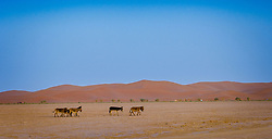 Donkeys roaming in the Moroccan Sahara Desert near Cheggaga in the early morning<br /> <br /> (c) Andrew Wilson | Edinburgh Elite media
