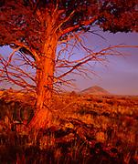 Juniper at Dawn, Lava Beds National Monument, California