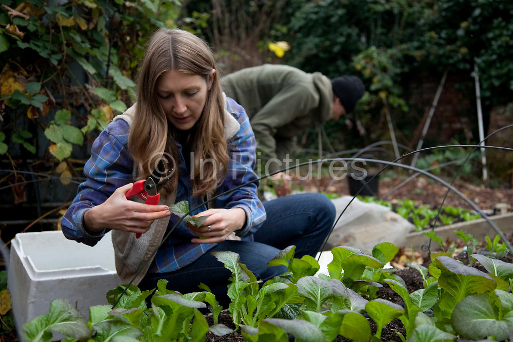 Woman cutting and selecting salad leaves for veg boxes. Growing communities is one of London's most important urban farms. They run an organic veg box delivery scheme in Hackney.