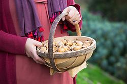 Holding trug of Dutch iris bulbs