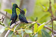 hummingbird breeding its young.