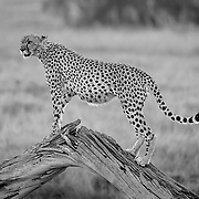 """Cheetah standing on a tree stump for elevation in Amboseli, Kenya.<br /> <br /> For all details about sizes, paper and pricing starting at $85, click """"Add to Cart"""" below."""