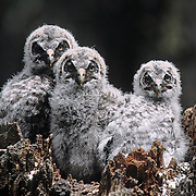 Great Gray Owl chicks in a nest on top of a broken tree trunk. Montana