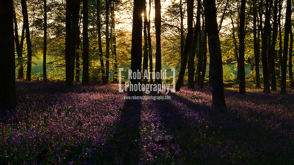 13/05/2013 - Micheldever Wood, Hampshire, UK - Bluebells in bloom during sunset. Photo by Rob Arnold