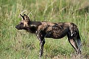 Wild dogstanding in grassland