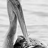 Seabirds & Gulls