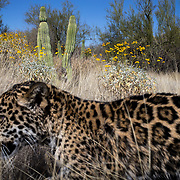 Tutu'uli, a 6-month-old female jaguar, at the Ecological Center of Sonora in Mexico. Tutu'uli hunting instinct, along with her fondness for water, make her a good candidate for breeding cubs for potential reintroduction to the mountains.