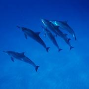 Spinner Dolphin (Stenella longirostris) Midway Island. Hawaii.