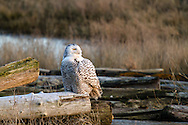 A Snowy Owl (Bubo scandiacus) perched on driftwood at Boundary Bay in Delta, British Columbia, Canada