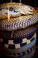 Rice wine macerated with a snake, Le Mat snake village,  Hanoi, Vietnam, Southeast Asia
