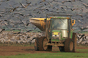Israel, Hula Valley, a tractor spreading corn grain to feed a large flock of Eurasian Cranes February 2008
