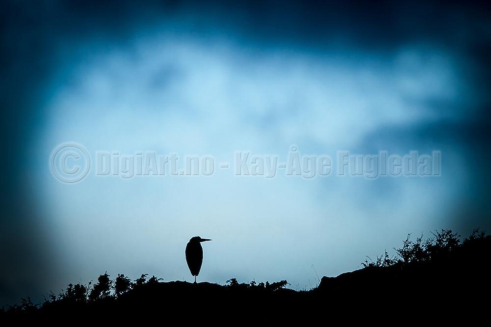 Gray Heron Silhouette on blue background   Hegresilhuett på blå bakgrunn