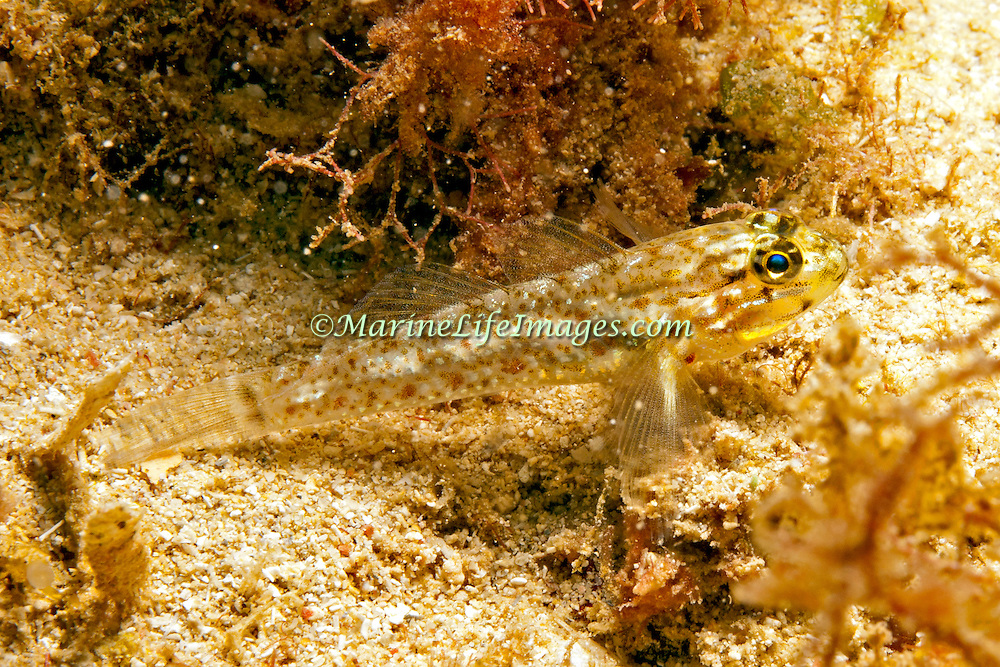 Colon Goby inhabit sandy coral rubble adjacent to coral reefs in Tropical West Pacific; picture taken Panama near San Blas Islands.