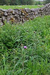 Melancholy Thistle grwoing wild on a lanesdie verge in Yorkshire. Cirsium heterophyllum