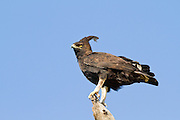 Long Crested Eagle (Lophaetus occipitalis). Photographed in Tanzania