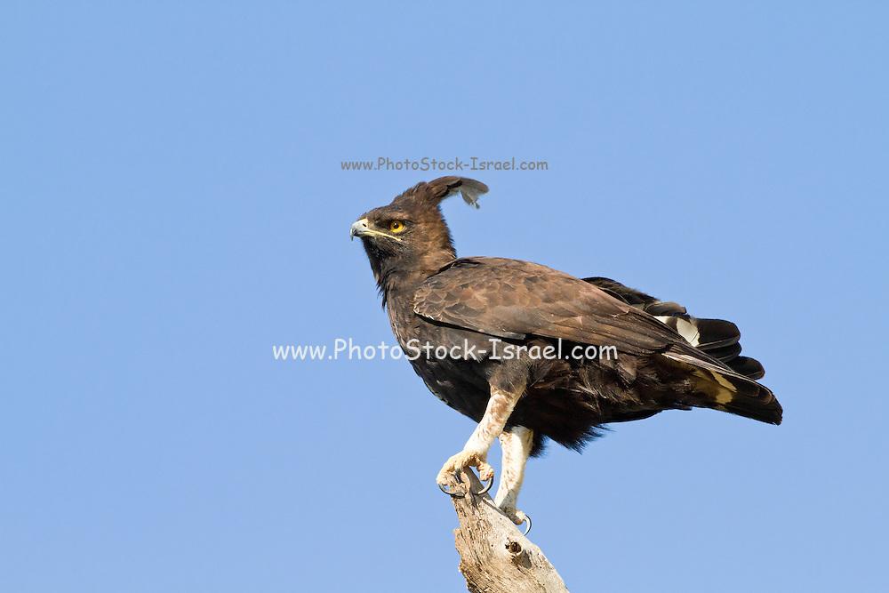 Long Crested Eagle (Lophaetus occipitalis). Photographed in Tanzania