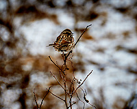 White-throated Sparrow on a bush at the Sourland Mountain Preserve. Image taken with a Nikon D300 camera and 18-200 mm VR lens (ISO 200, 200 mm, f/5.6, 1/50 sec).