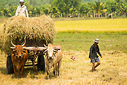 29 MARCH 2012 - TAY NINH, VIETNAM: Farmers use an ox cart and oxen to collect rice straw from a harvested rice paddy along highway AH1 in Tay Ninh, Vietnam. The straw will be used to feed livestock. Oxen are still used as beasts of burden in Vietnam.     PHOTO BY JACK KURTZ