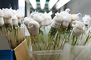 Rice grows in test tubes for genomics research at LMI RICE Laboratory, Agricultural Genetics Institute, Pham Van Dong Street, Hanoi, Vietnam, Southeast Asia